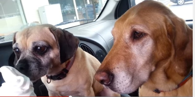dogs at mcdonald's drive thru